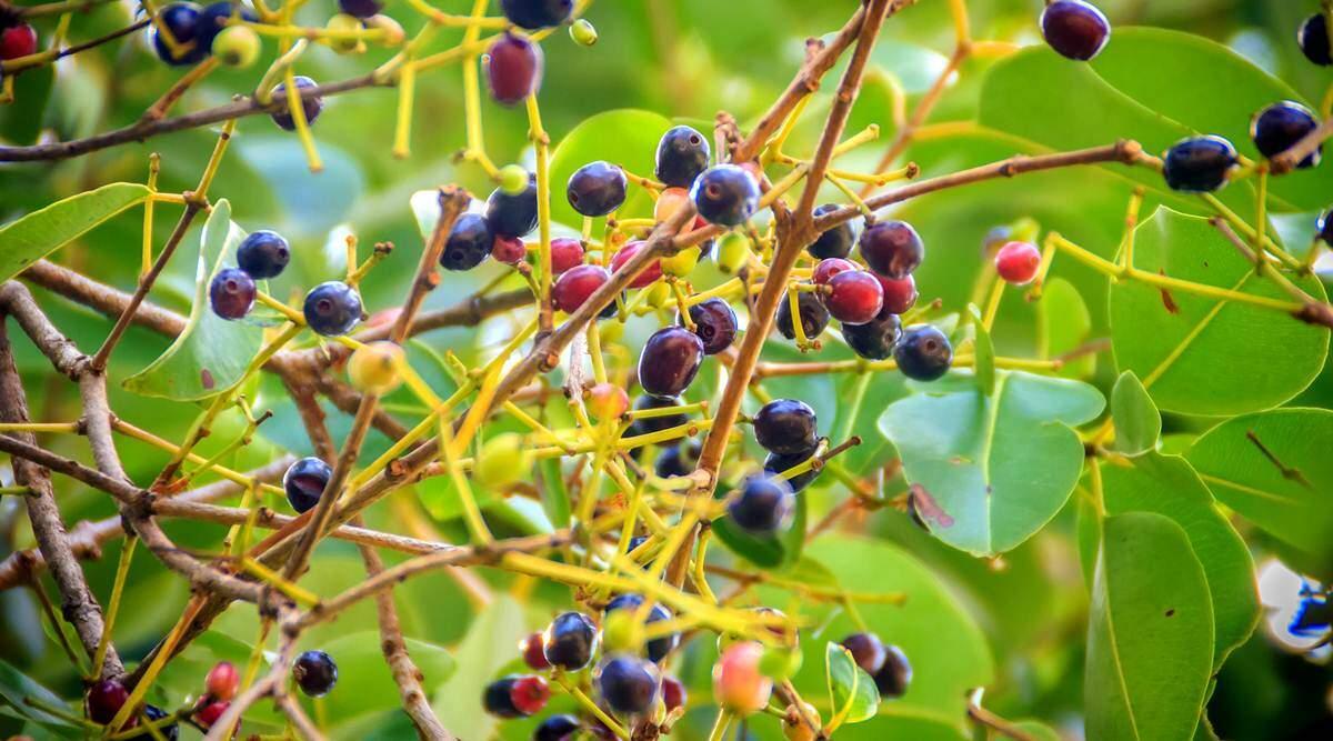 Jamun Leaves